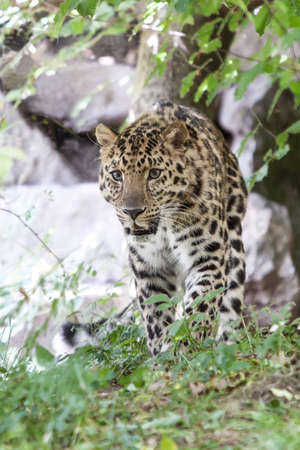 amur leopard or Panthera pardus orientalis photo