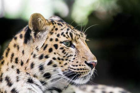 amur leopard or Panthera pardus orientalis photo