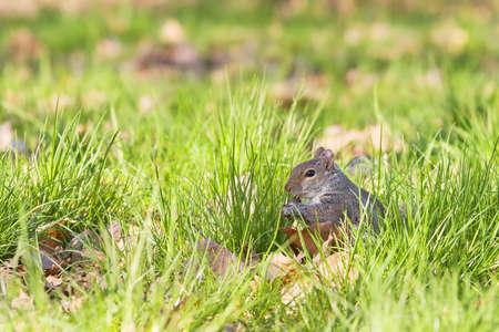 Eating grey squirrel photo