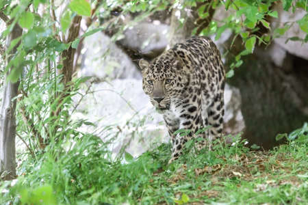the amur: Amur leopard Stock Photo