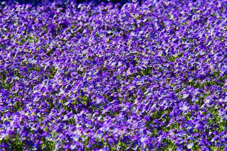 Floral of blooming purple pansies flowers photo