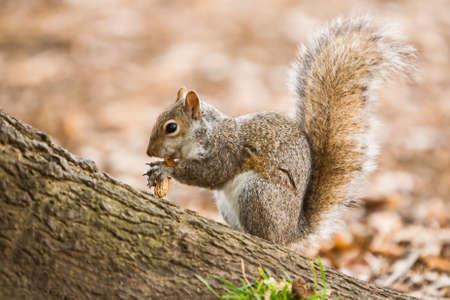 carolinensis: Eating grey squirrel Stock Photo