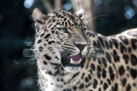 amur leopard, (Panthera pardus orientalis)