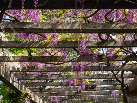 flower garden path: Wisteria on an arbor in a sunny garden Stock Photo