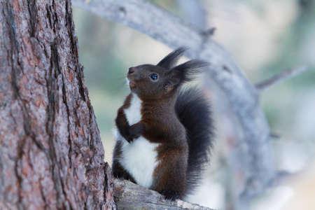 red squirrel: portrait Red Squirrel