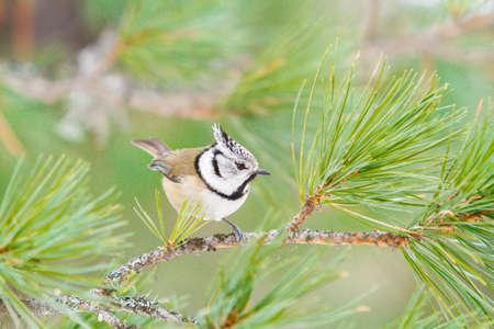 cristatus: Crested tit  (Parus cristatus) on the tree