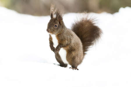 red squirrel: Portrait red squirrel on the snow Stock Photo