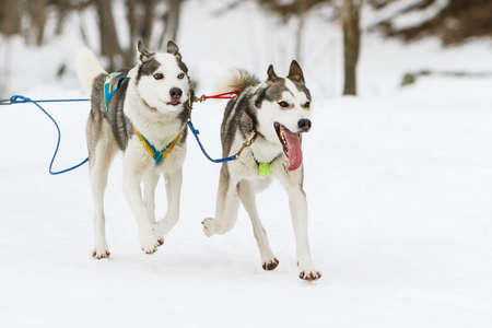 huskys: Sled husky dog race in winter on snow