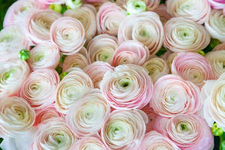 roze Perzische boterbloem achtergrond ranunculus