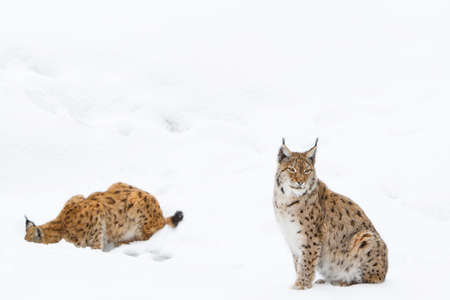 bobcat or lynx portrait