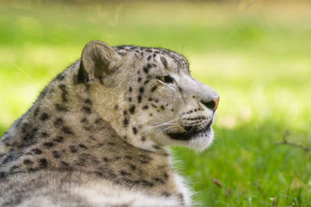 irbis: snow leopards portrait