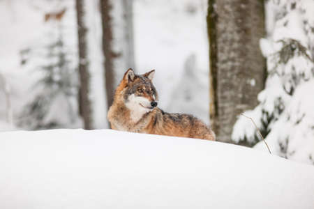 canis: Beautiful wild gray wolf in winter