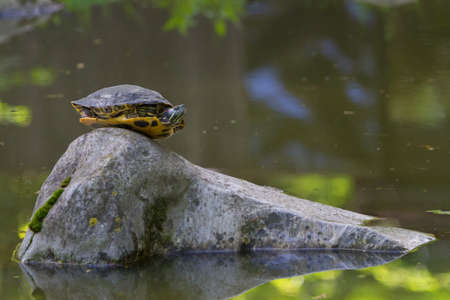 terrapin: Red Eared Terrapin