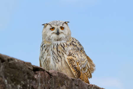Portrait of european eagle owl photo