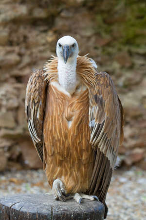 gyps: portrait Griffon vulture (Gyps fulvus) Stock Photo