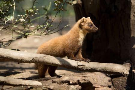 stoat: Pine marten (Martes martes) Stock Photo