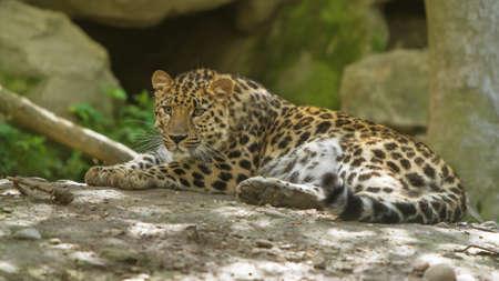 pardus: amur leopard, (Panthera pardus orientalis)
