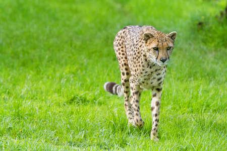jubatus: beautiful cheetah (Acinonyx jubatus)