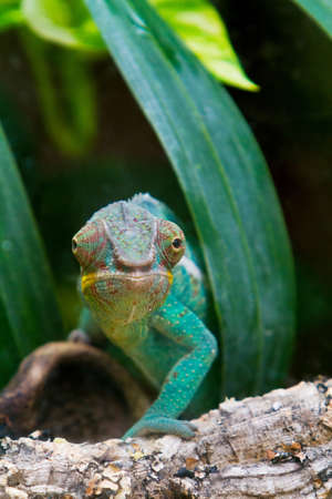 africa chameleon: closeup of a panther cameleon