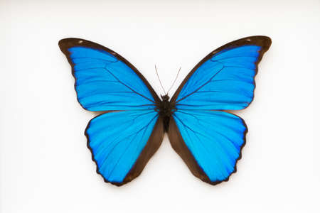 morpho: Beautiful blue and black butterfly, morpho