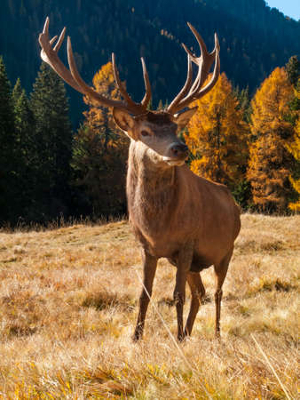 elaphus: Wild, dominant Cervus elaphus Red stag male Stock Photo