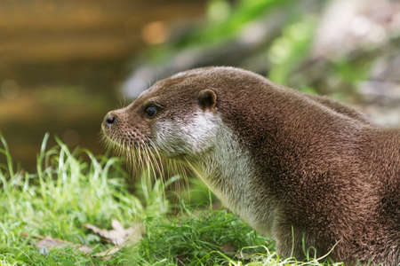 carnivorous fish: portrait european Otter on grass