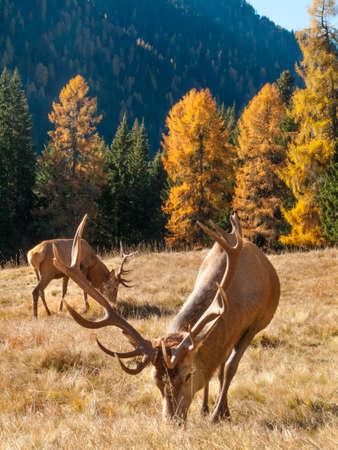 stag: Wild, dominant Cervus elaphus Red stag male Stock Photo