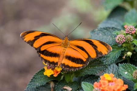 to metamorphose: Tiger Butterfly Dryadula phaetusa orange, Stock Photo
