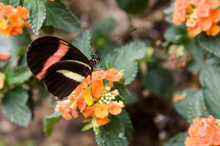 metamorphose: Red postman butterfly (Heliconus erato) on flowers, in garden park Italy