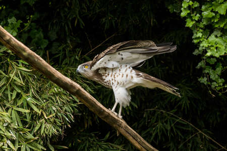 toed: Short toed eagle ( circaetus gallicus ) in forest Stock Photo