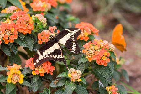 machaon: swallowtail butterfly Papilio machaon on flowers, Stock Photo