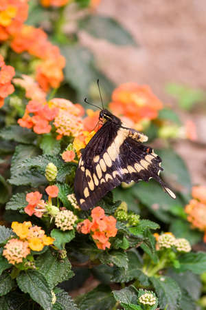 metamorphose: swallowtail butterfly Papilio machaon on flowers,Oasi Sant Alessio italy Stock Photo