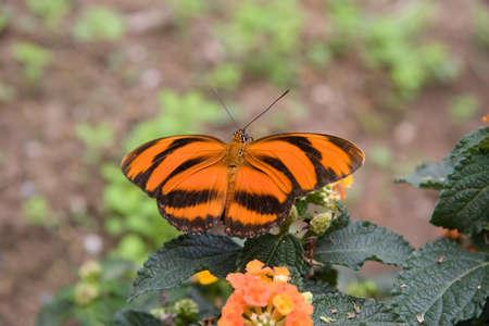 metamorphose: Tiger Butterfly Dryadula phaetusa orange, Oasi Sant Alessio italy