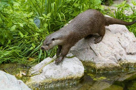otter: European Otter in nature.