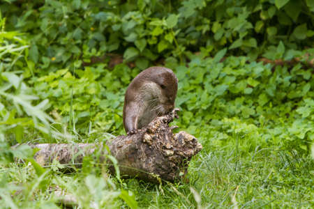 hunted: European Otter in nature.
