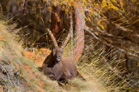 capra: Portrait of Alpine Ibex, Capra ibex