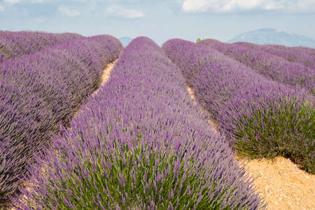 lavande: Landscape in Provence, blossoming purple lavender field at Valensole France