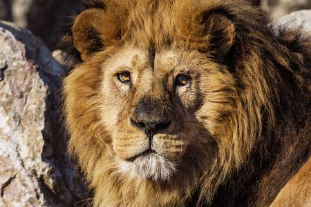 male lion: beautiful portrait of majestic male lion