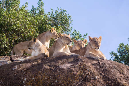 Family of African Lions in national park of Tanzania Stock Photo