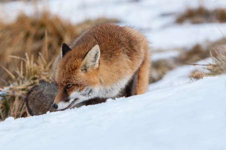 red fox: portrait Red fox on snow (vulpes vulpes)