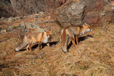 red fox: portrait Red fox on snow Stock Photo