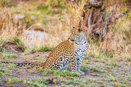 The African leopard portrait in the wild