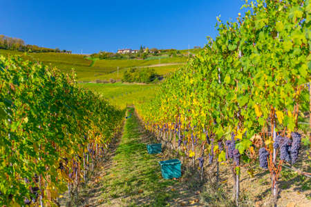 14 October 2019. View of the Barolo vines, during the grape harvest, in Piedmont, Italy.