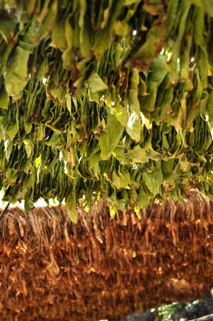 Tobacco leaves hanging for drying photo