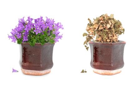 dode bladeren: Levend paarse bloemen en gedroogde dood floers in bruin vintage pot