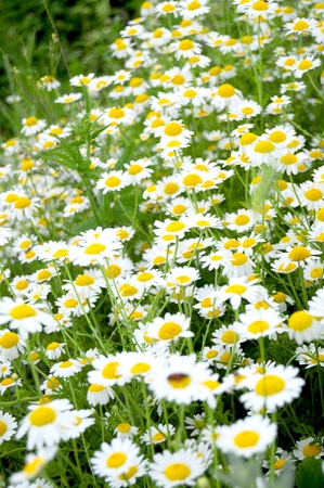 Many chamomile flowers in a field