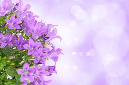 Beautiful purple background with campanula flowers photo