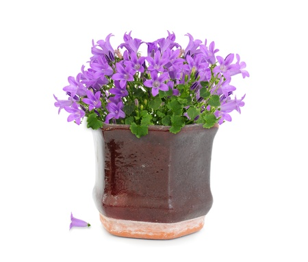 Purple campanula flower in brown vintage pot