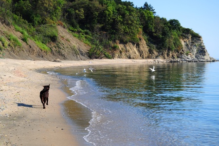 Beautiful brown labrador dog running on the beach chasing birds Stock Photo