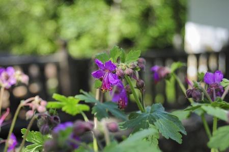 Blooming bulgarian geranium in garden Standard-Bild